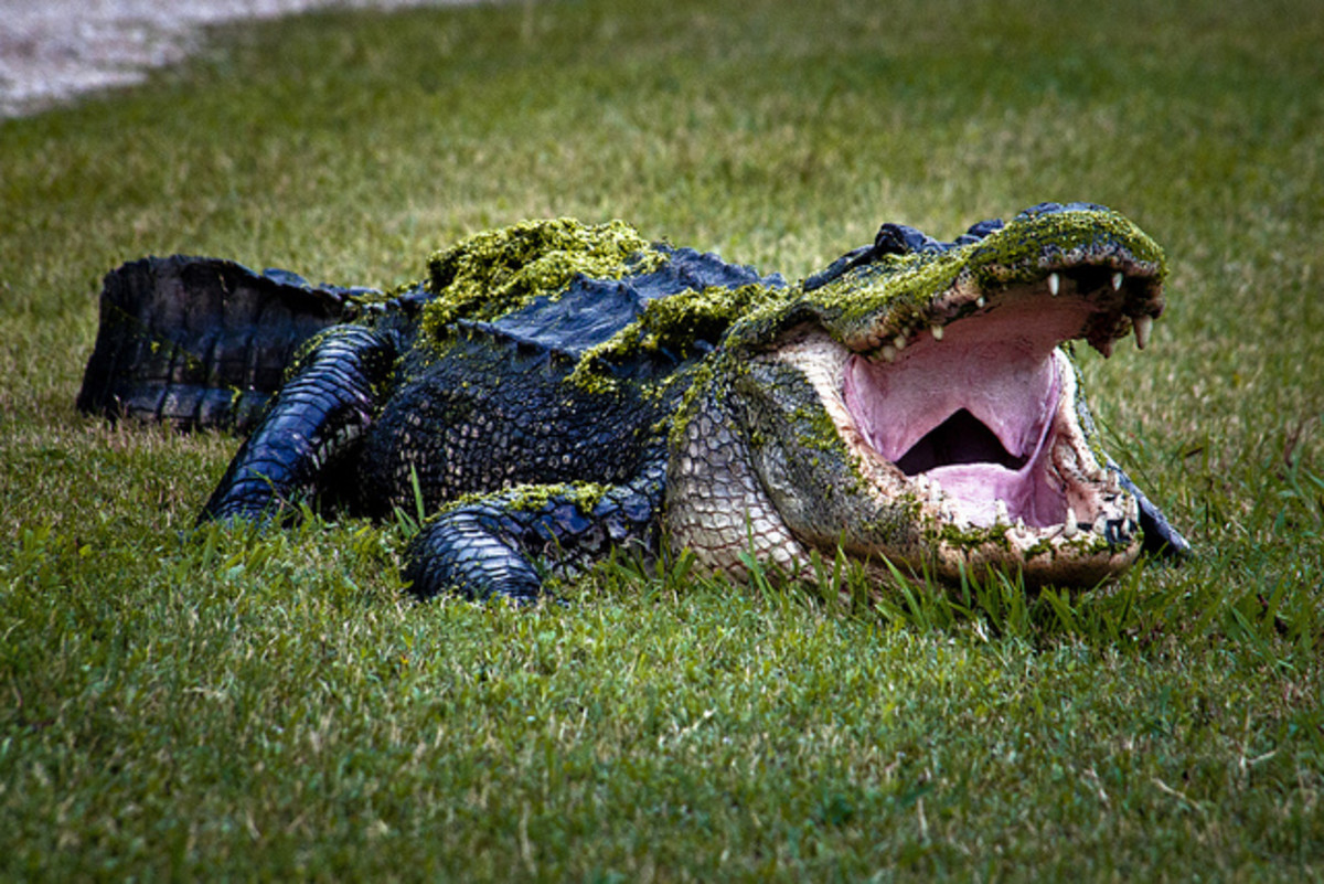 bite-me-alligator-bite-statistics-and-facts-about-alligators