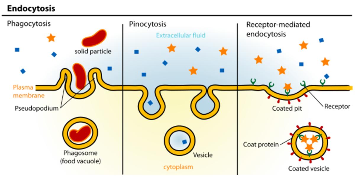 Endocytisis - phagocytosis and pinocytosis