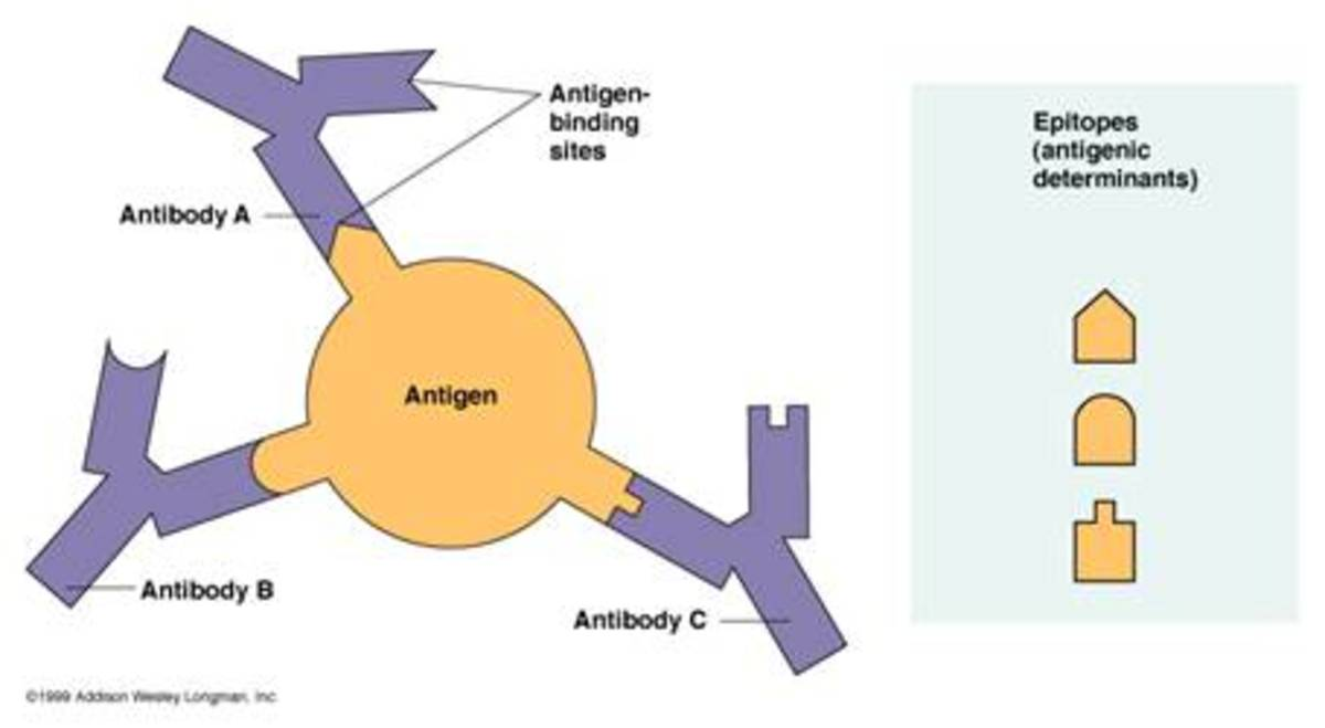 Diagram demonstrating the antigen-antibody relationship