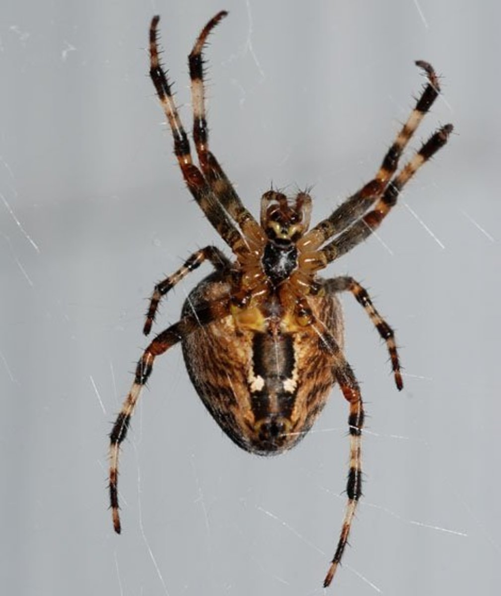 the-cross-orb-weaver-spider-facts