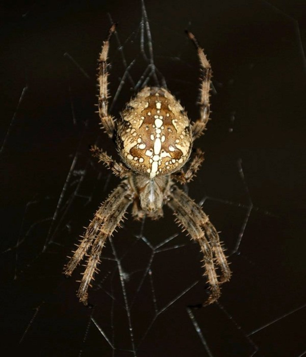 The Cross Orb Weaver or Common Garden  Spider Facts
