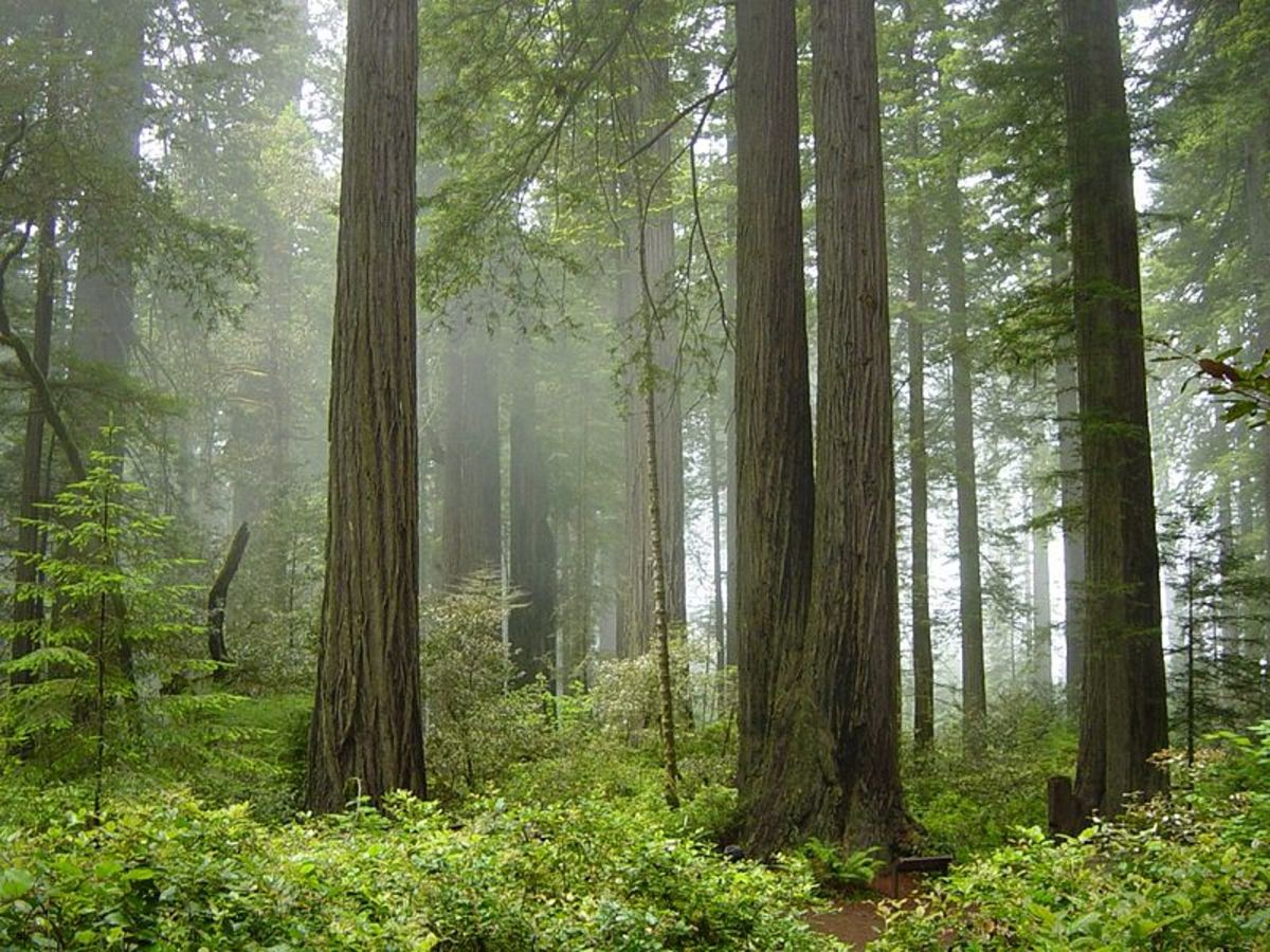 Temperate rainforest, Coast Redwood forest in Redwood National Park, Northern California, United States