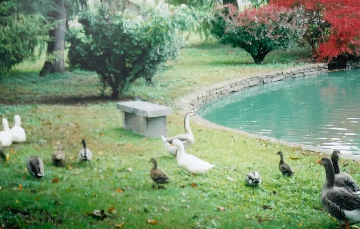 Ducks and Geese at the Lexington Cemetery