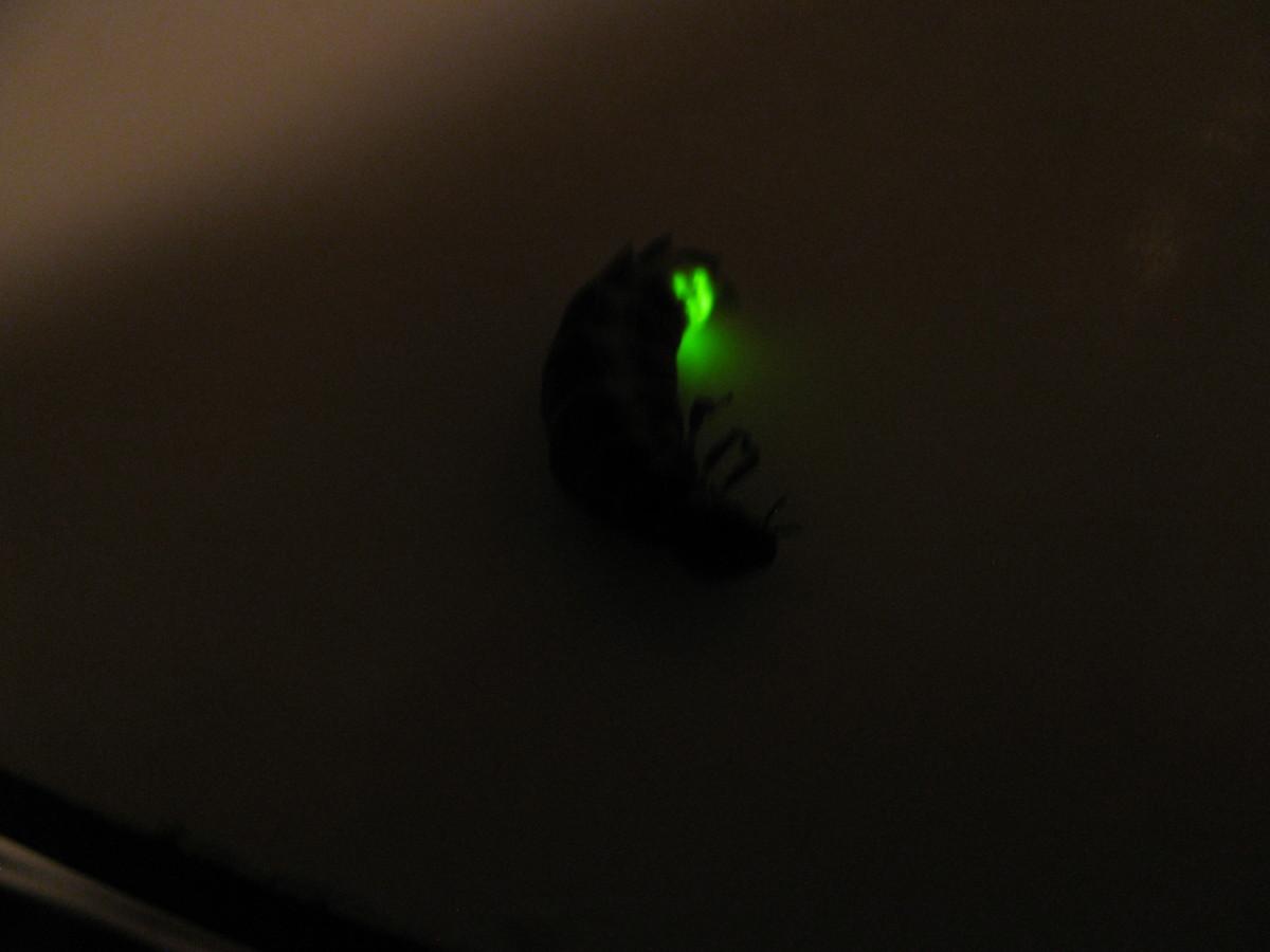 Amazing Glow-Worm