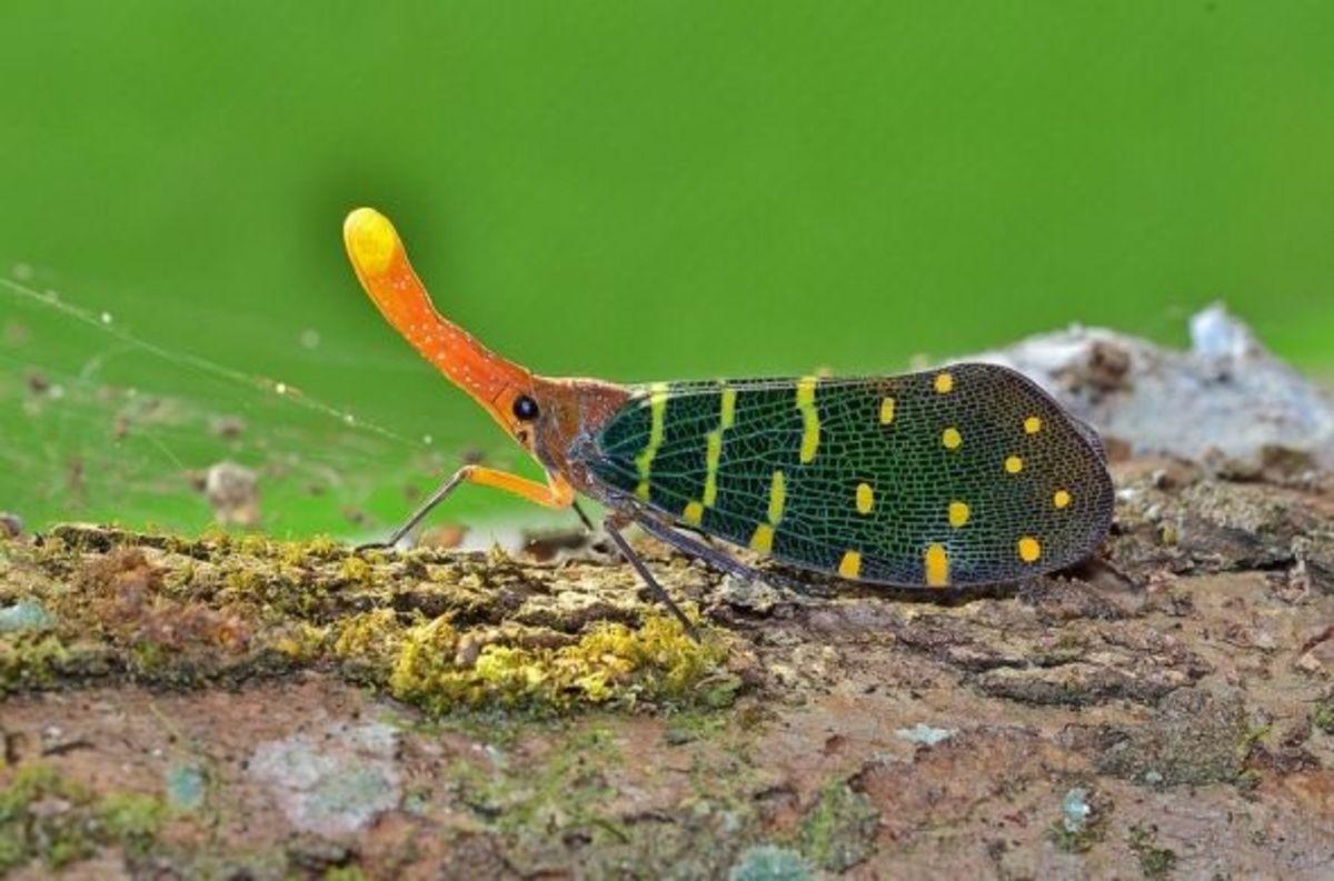 Exotic Bug in Malaysia