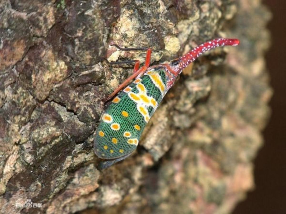 A Lantern Bug in Southern China