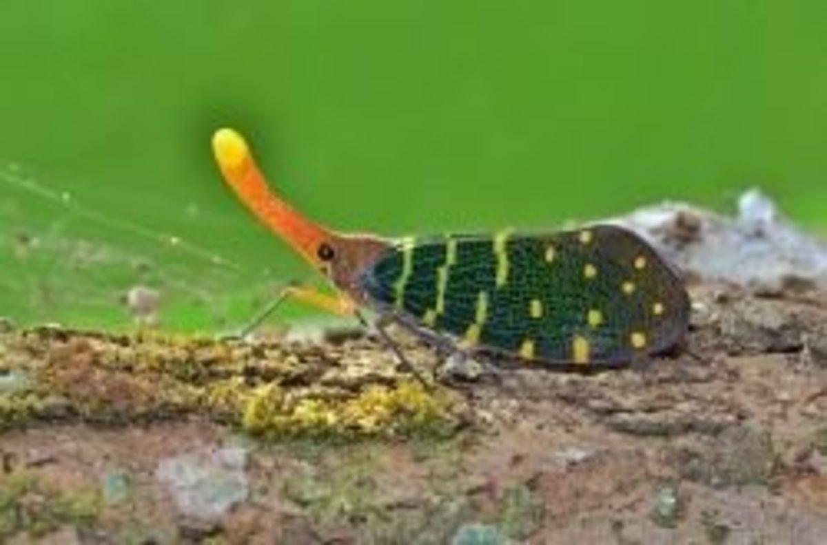 Lantern Bug Information