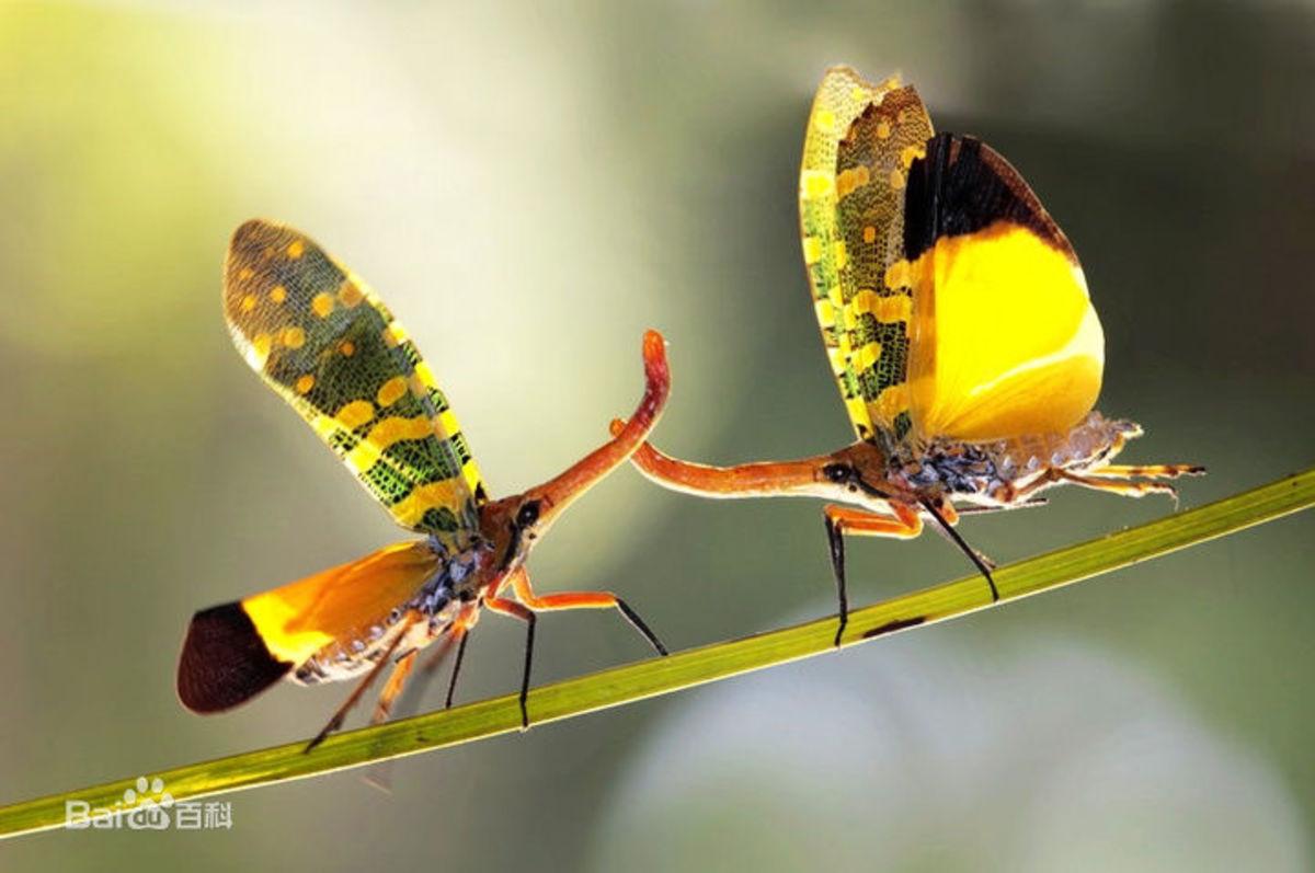 Beautiful Lantern Bugs Displaying Yellow Underwings