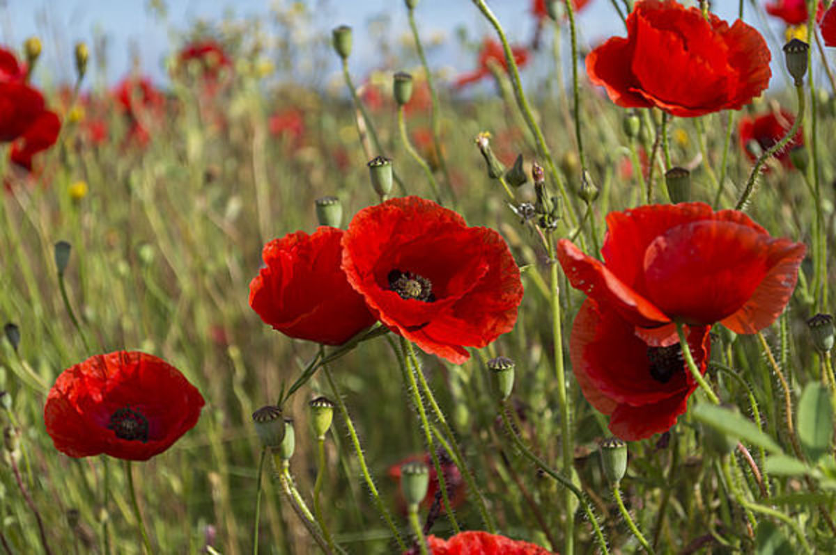 different-kinds-of-poppies