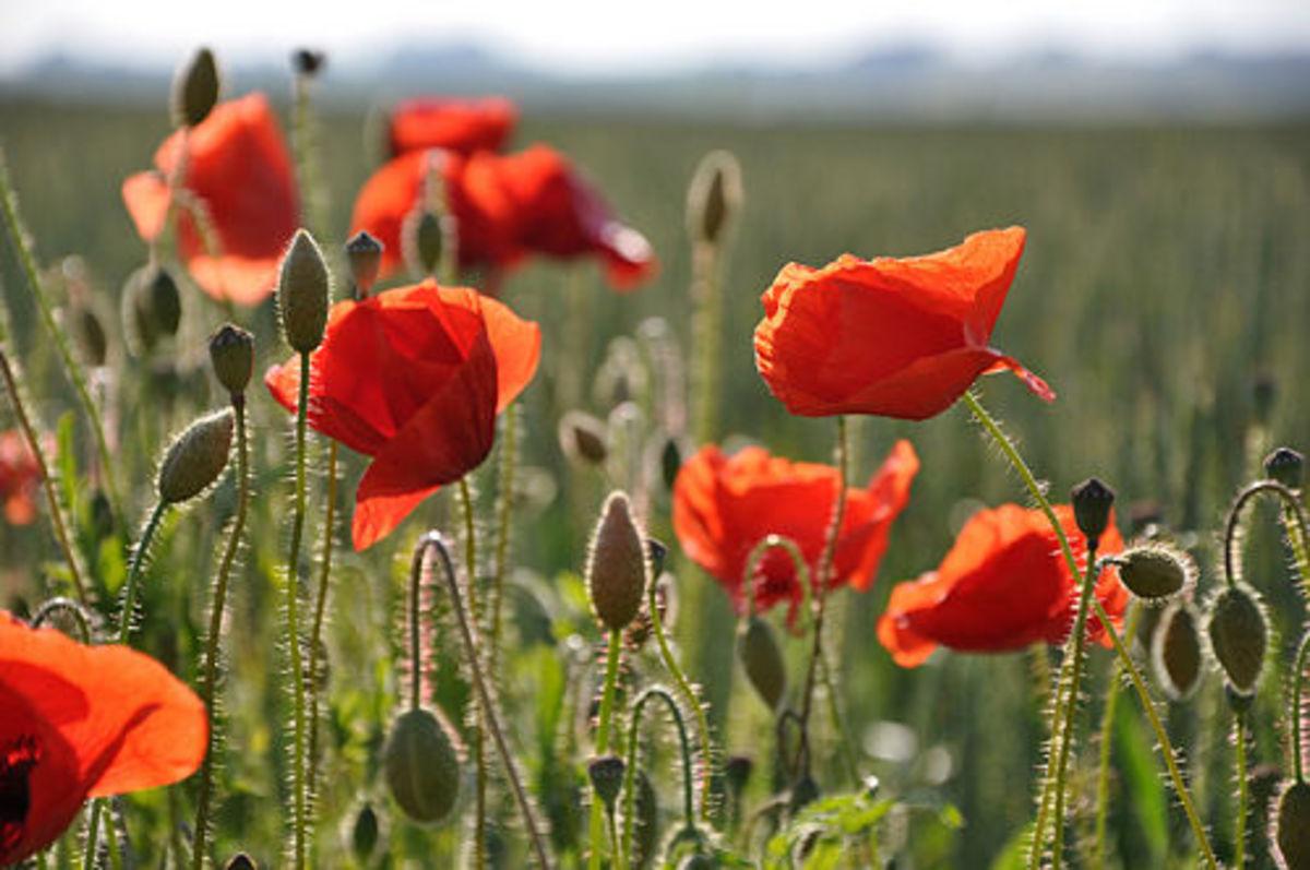 Red Corn Poppy (Papaver rhoeas)