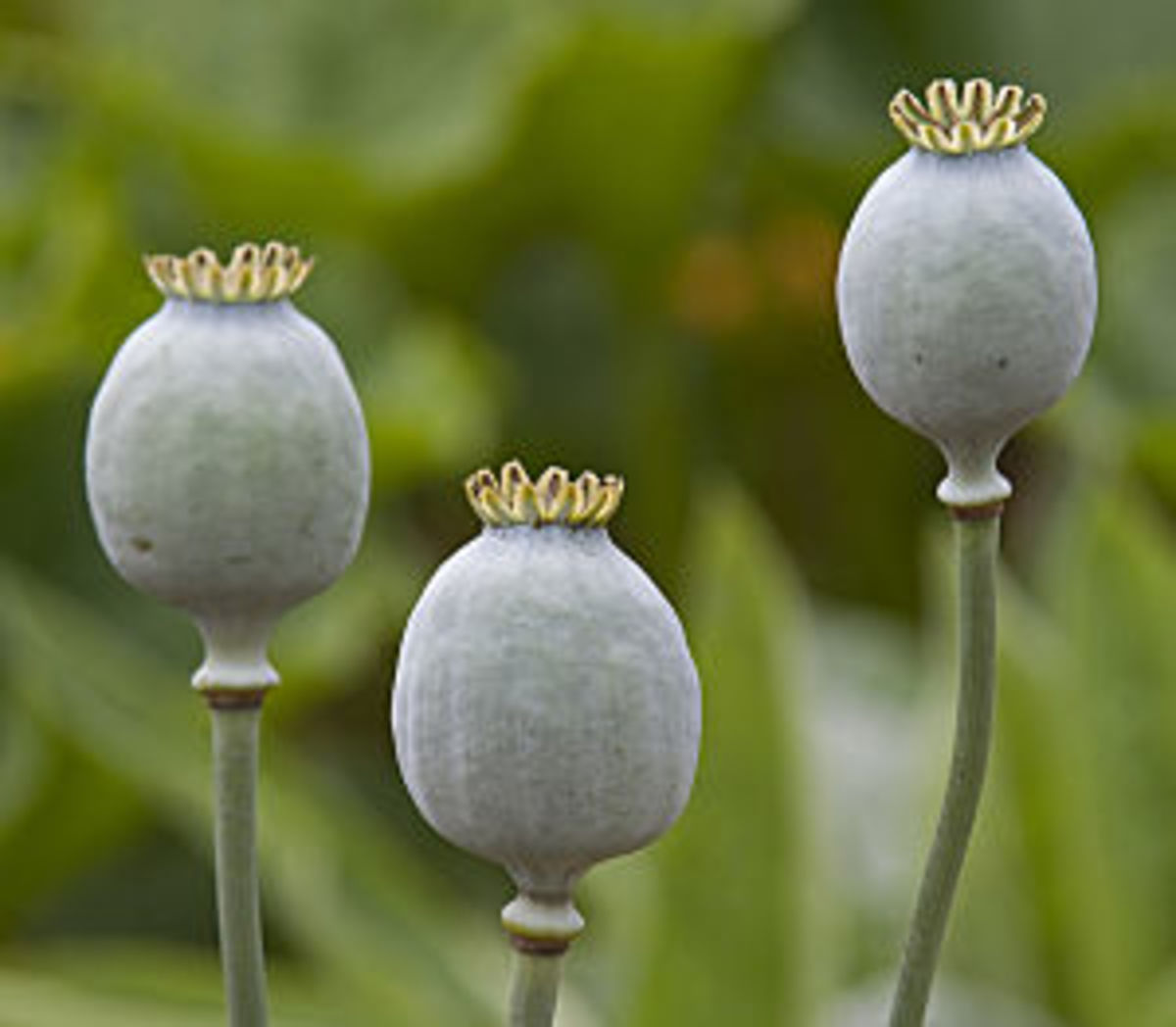 The Arctic Plunge What Does It Mean For Your Plants: Discover Different Kinds Of Poppies