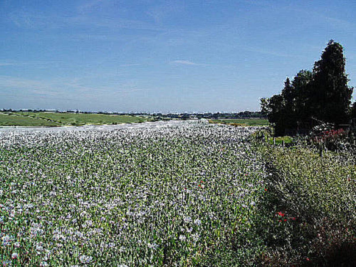 A Field of White Poppies at Ipsden, Oxfordshire, Great Britain