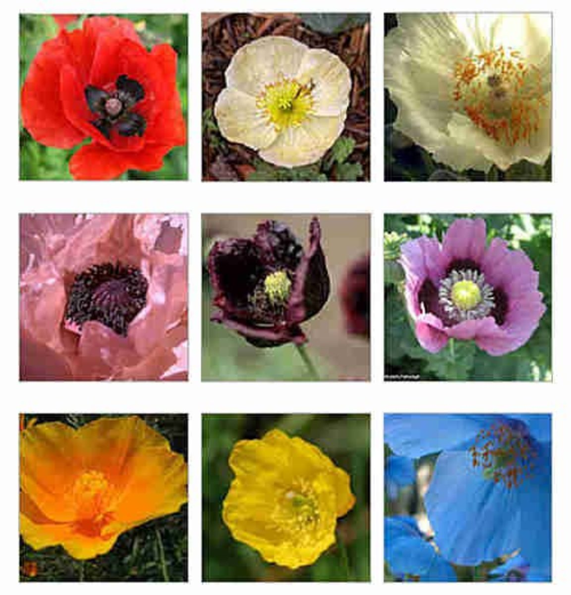 Discover different kinds of poppies hubpages and what colours can they come in mightylinksfo