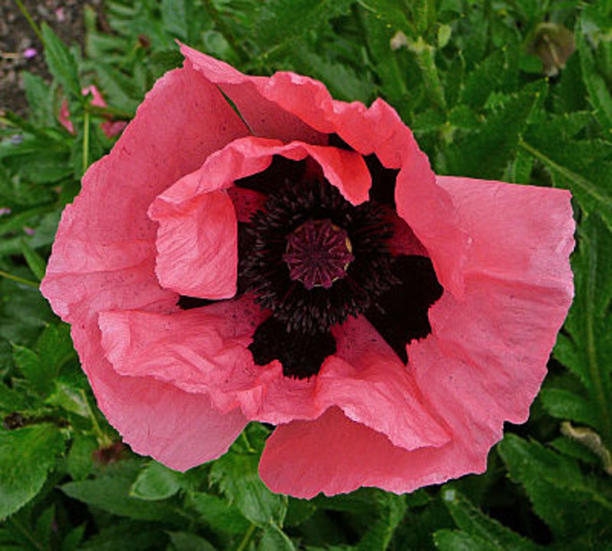 Cerise Oriental Poppy Cultivar