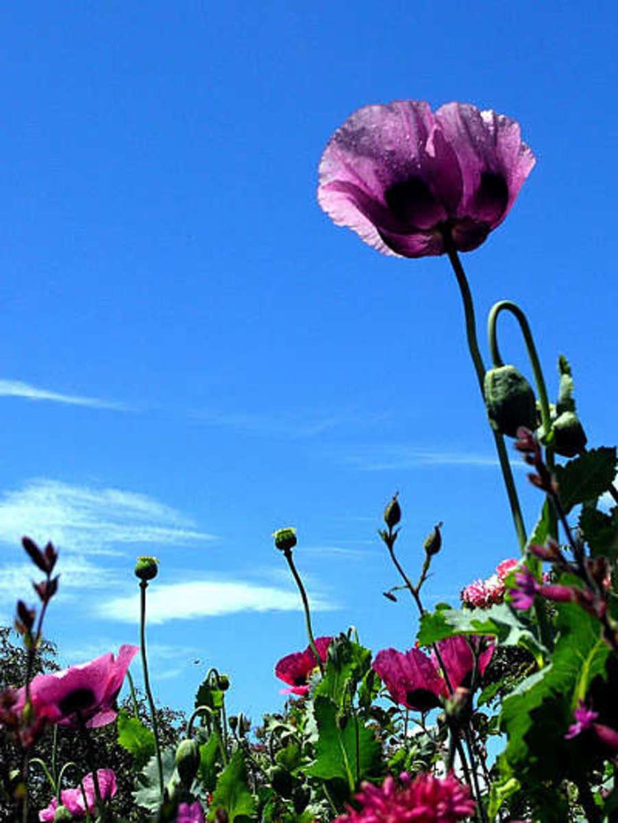 Mauve Opium Poppy