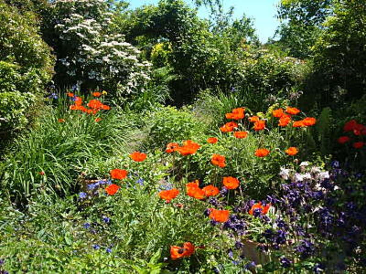 simple oriental poppies in my garden