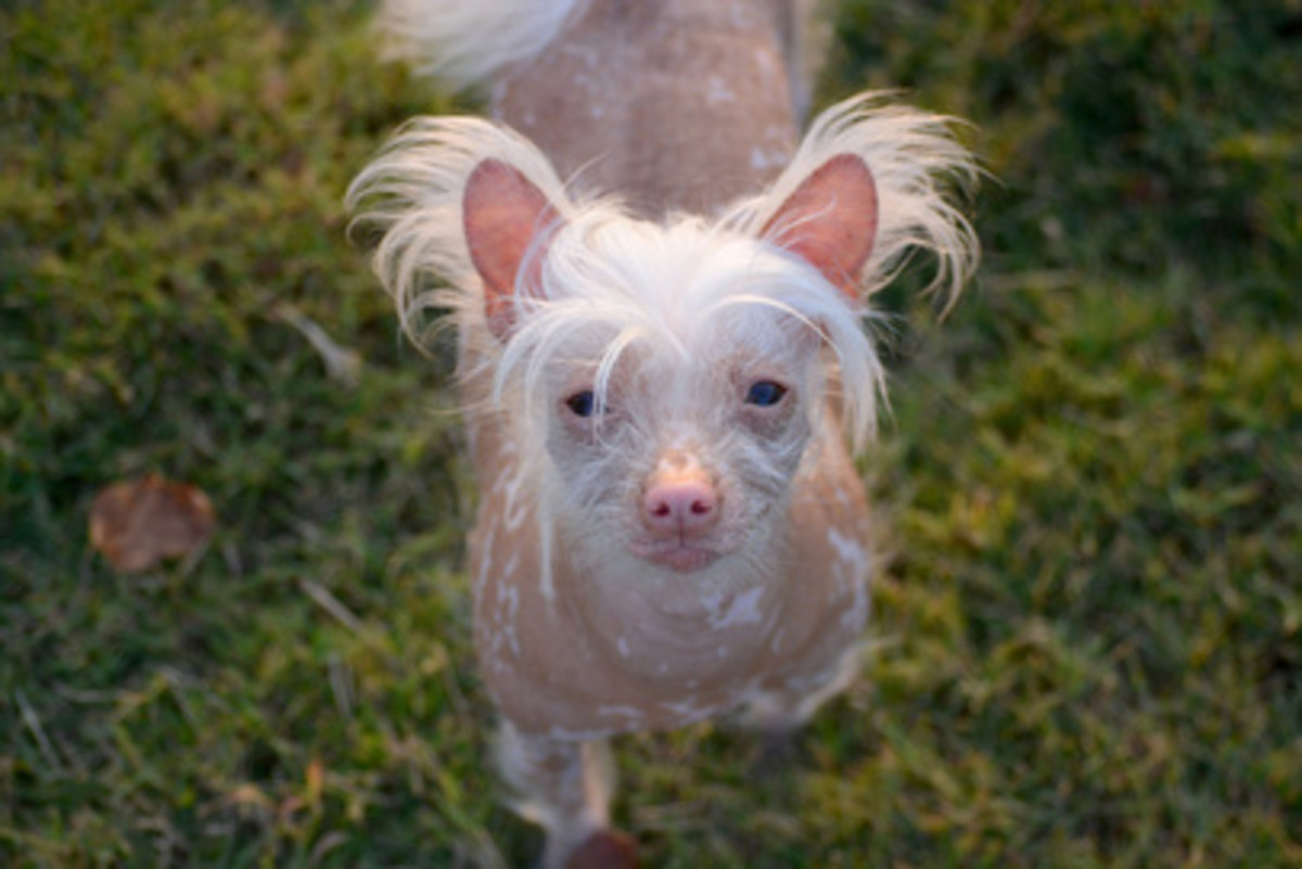 A hairless Chinese Crested looking for a name.