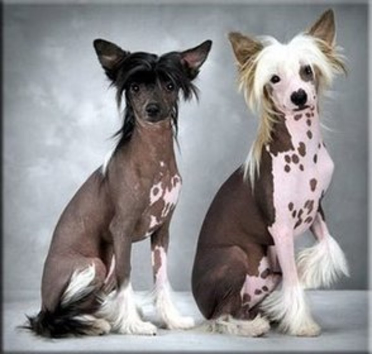 A Chinese Crested never changes its spots.