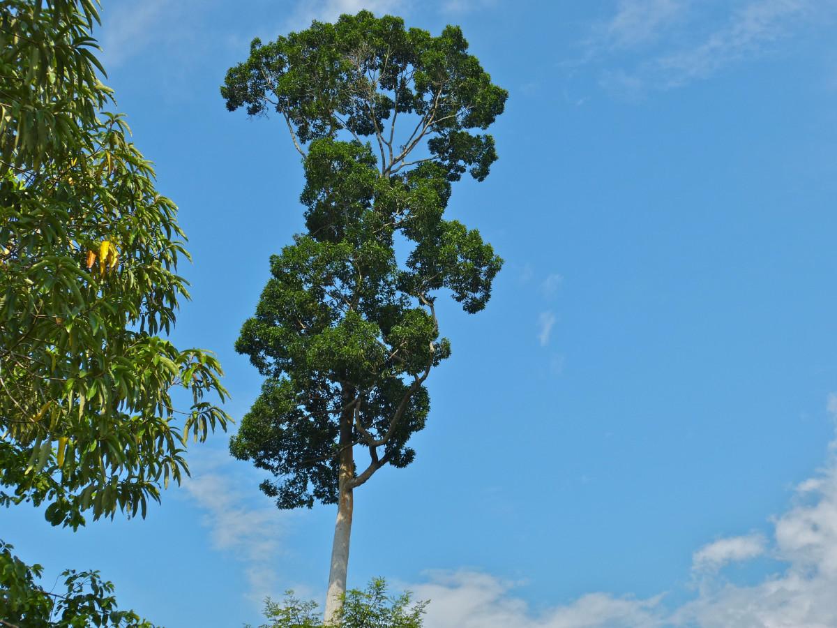 6. Endangered Plant : Apnit or Bagtikan - Parashorea malaanonan