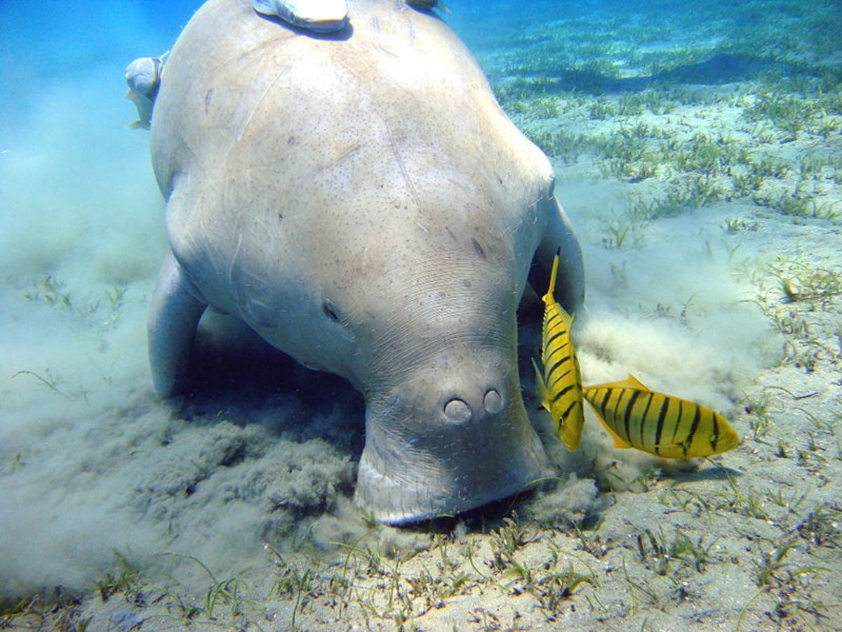 4. Dugong or sea cow (scientific name: Dugong dugon)