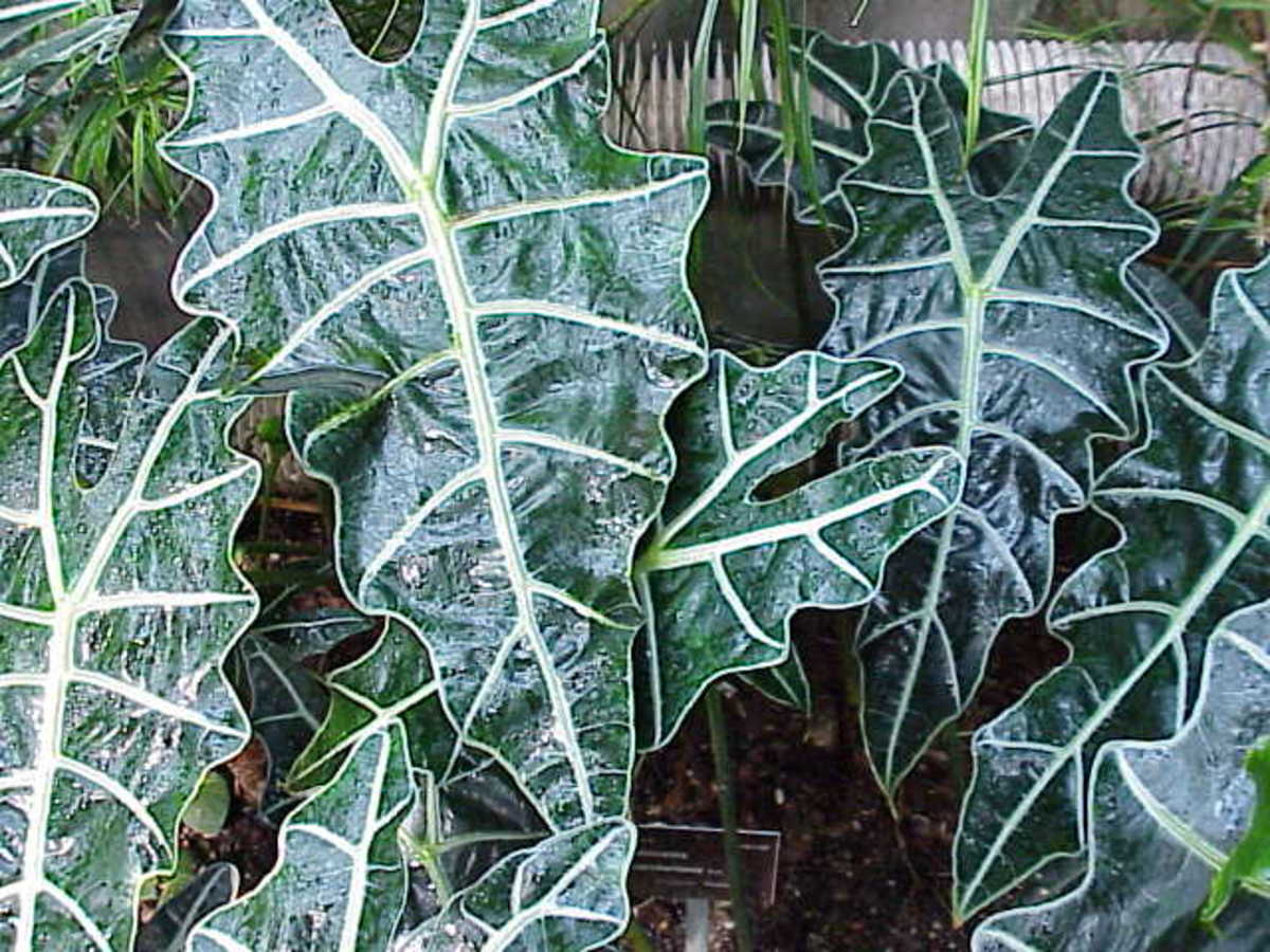 1. Endangered Plant : Kris plant (scientific name: Alocasia sanderiana)
