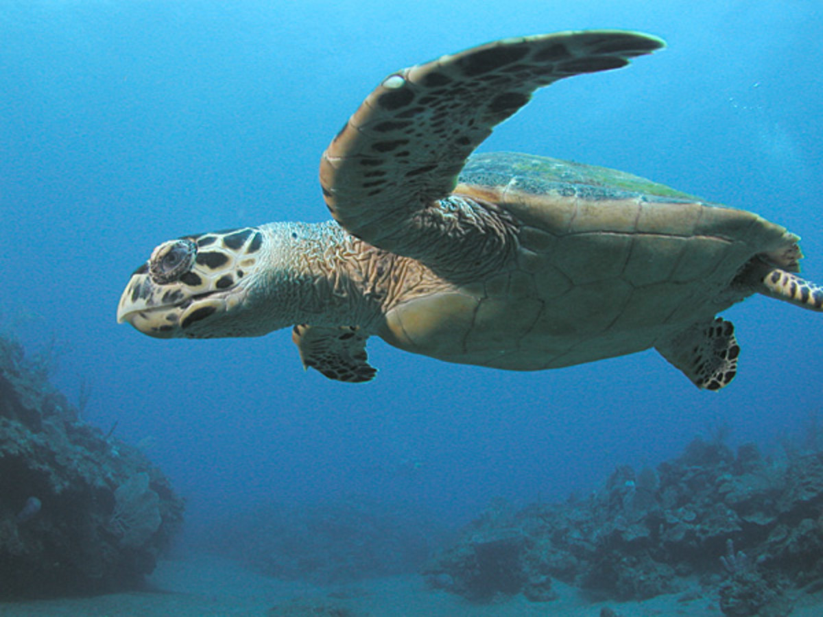 1. Endangered Animals : Pawikan Or Hawksbill Sea Turtle (Scientific Name: Eretmochelys Imbricata)