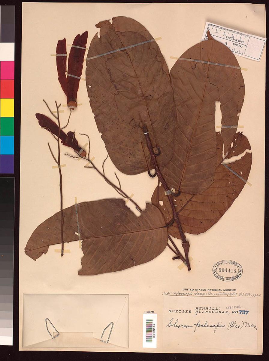 8. Mayapis Tree (scientific name: Shorea palosapis)
