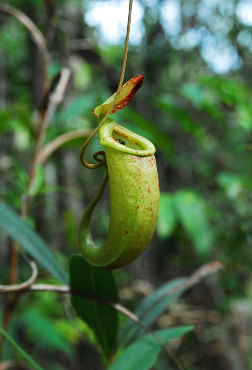 10. Dinagat pitcher plant (scientific name: Nepenthes bellii)