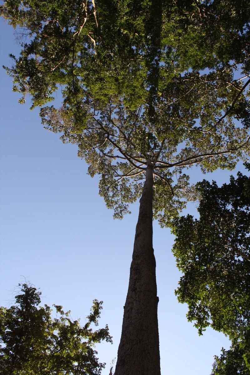 5. Dau Rai (scientific name: Dipterocarpus alatus)