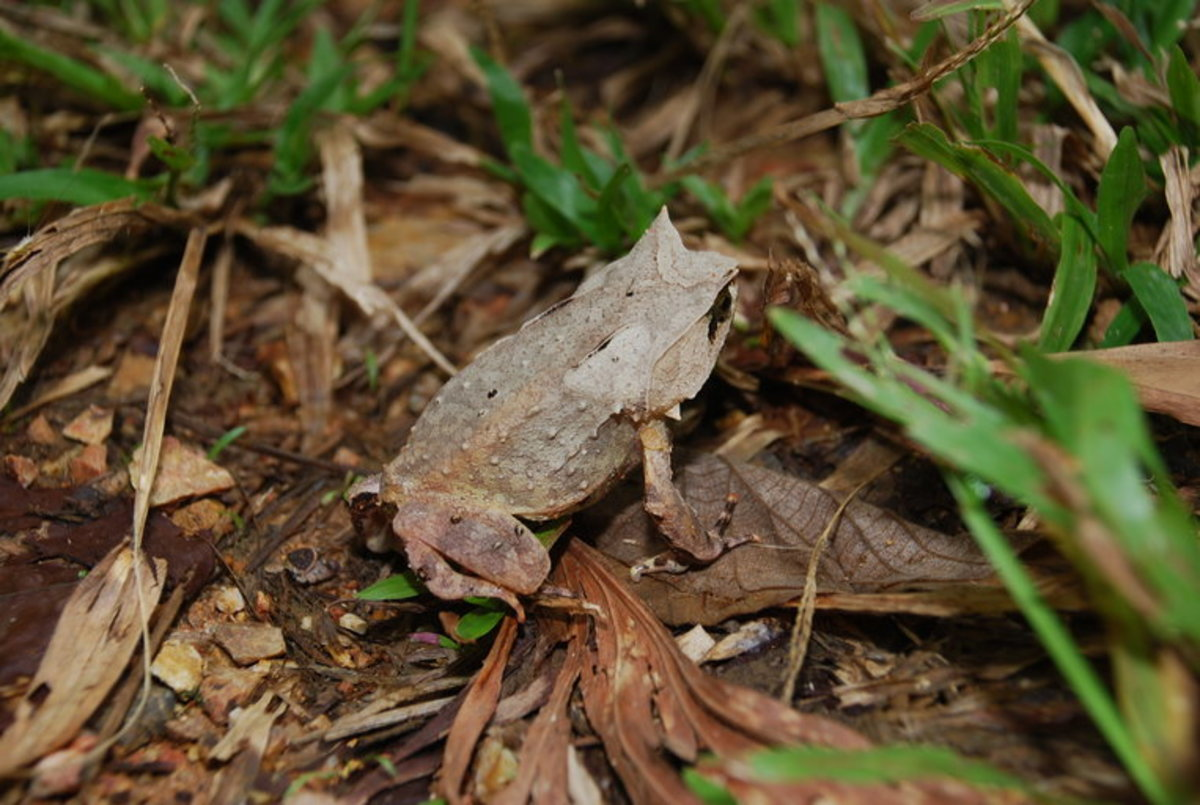 7. Palawan horned frog (scientific name: Megophrys ligayae)