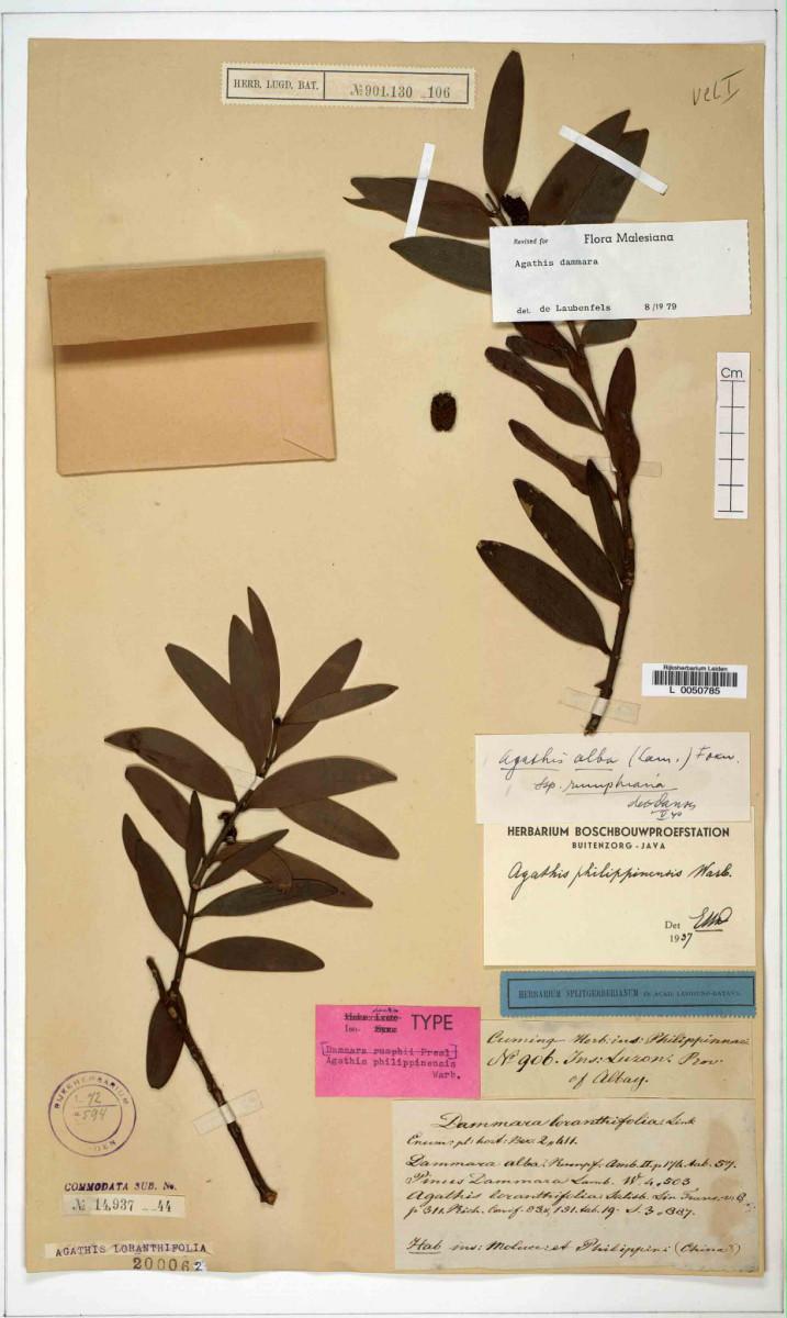 4. Dayungon (scientific name: Agathis philippinensis)