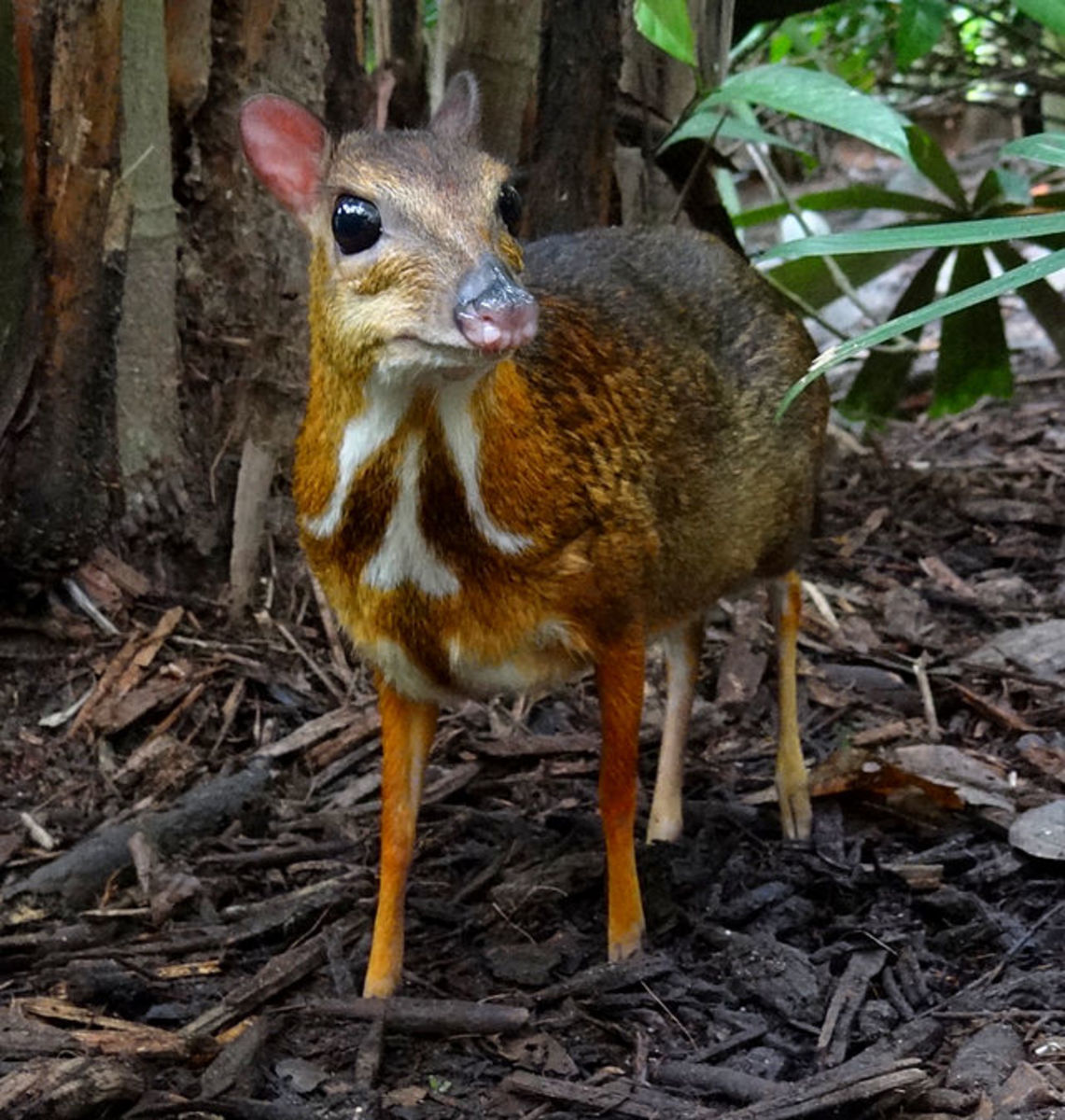 9. Pilandok or Philippine mouse deer (scientific name: Tragulus nigricans)