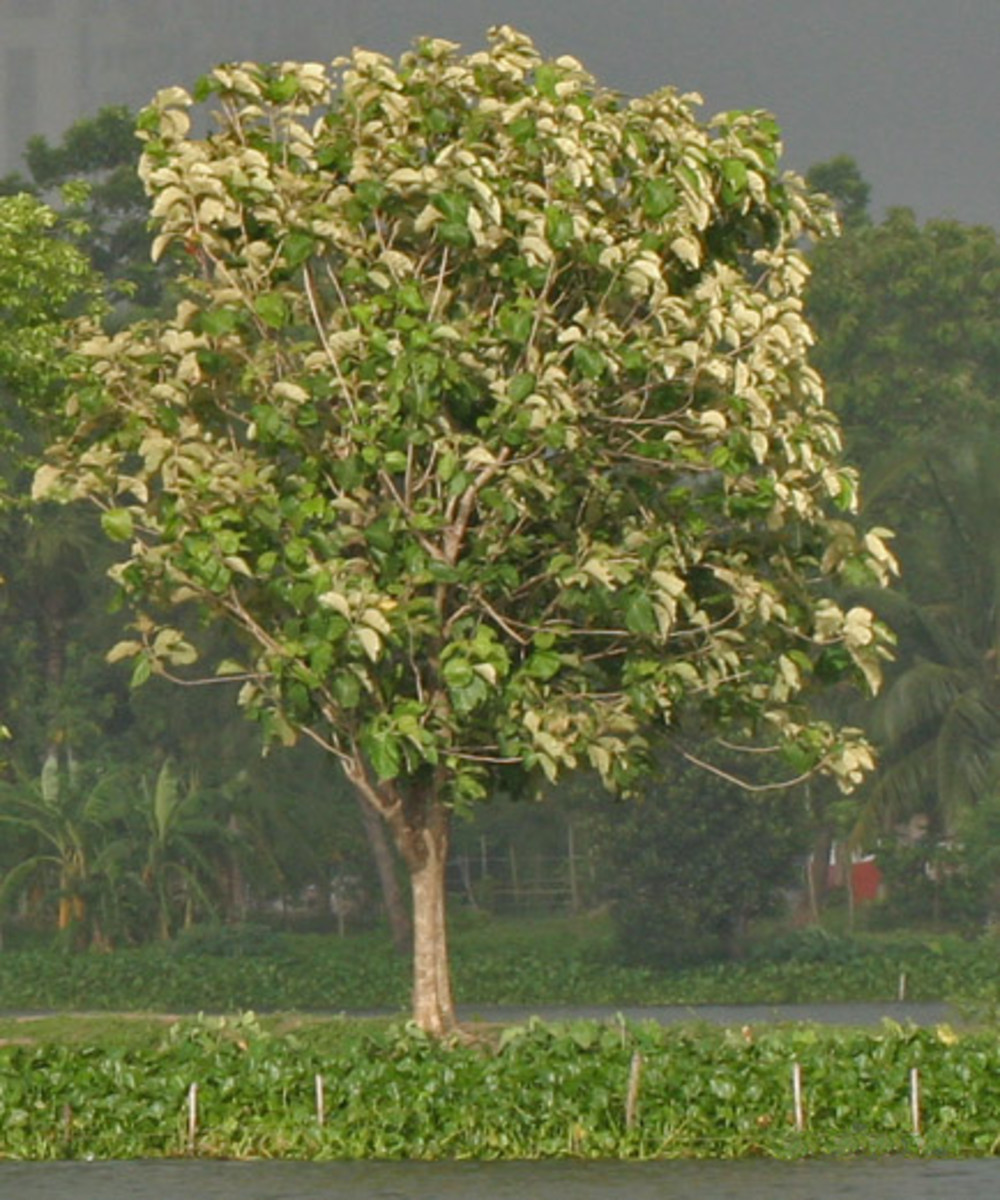 9. Philippine Teak (scientific name: Tectona philippinensis)