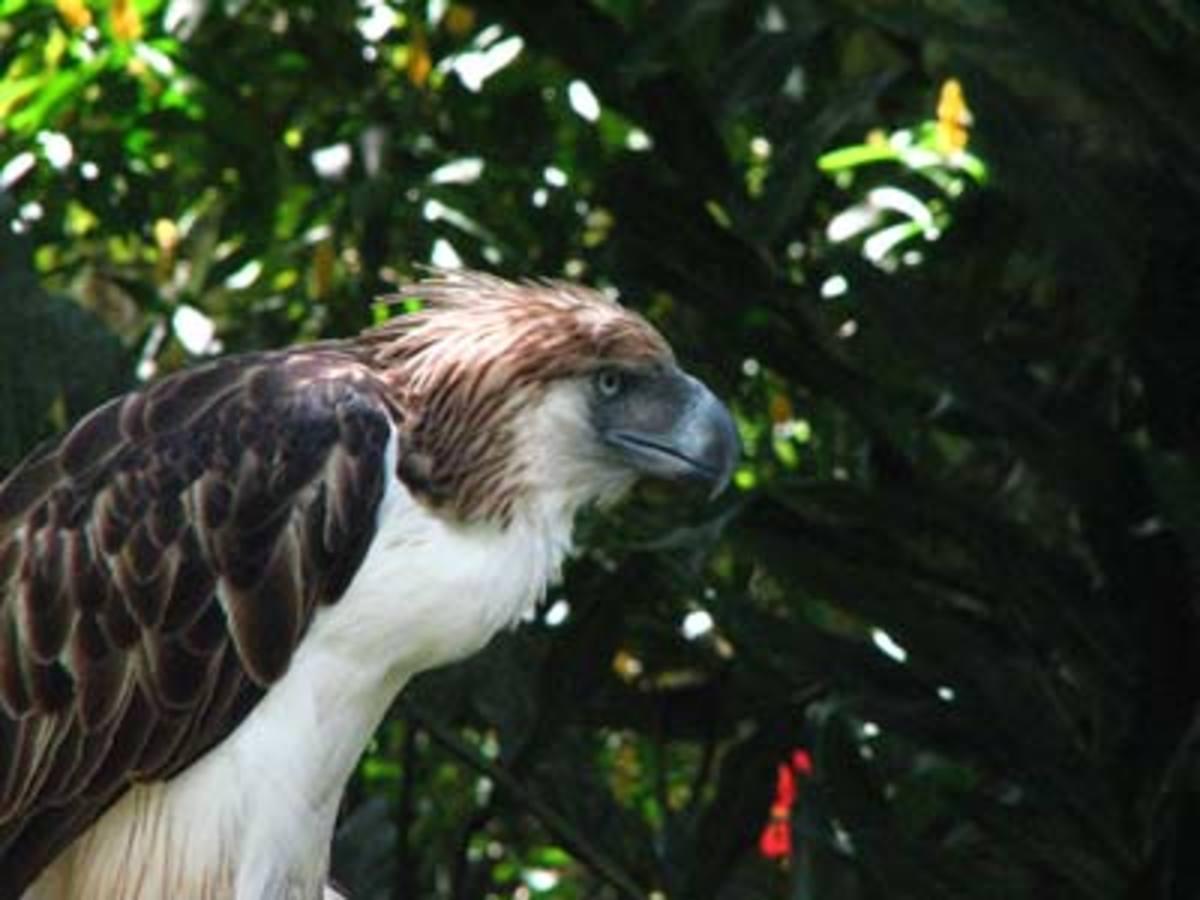 2. Haribon or Philippine eagle (scientific name: Pithecophaga jefferyi)