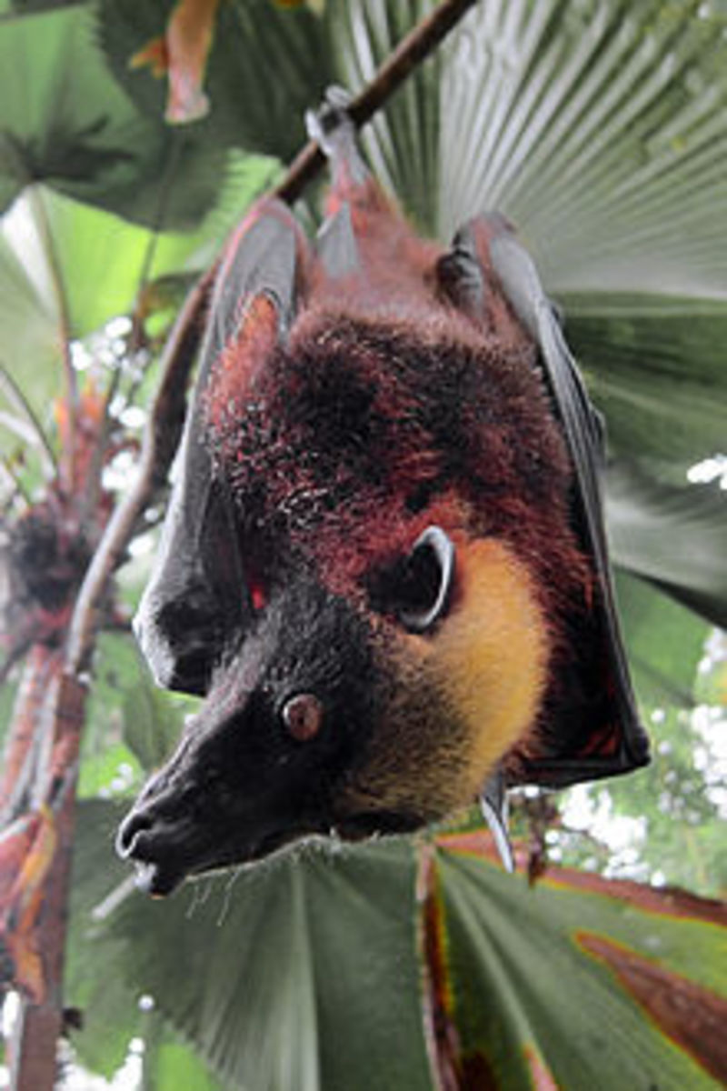 8. Giant golden-crowned flying fox (scientific name: Acerodon jubatus)