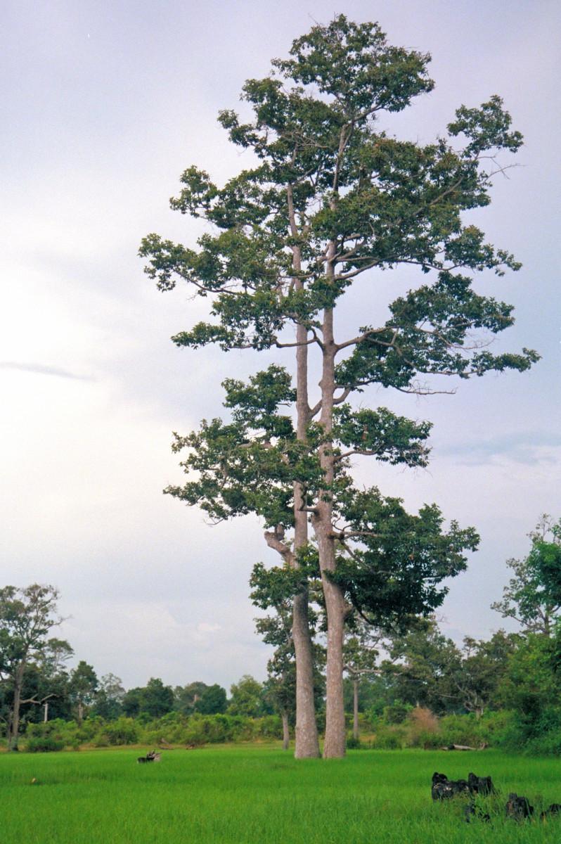 2. Apitong (scientific name: Dipterocarpus grandiflorus)