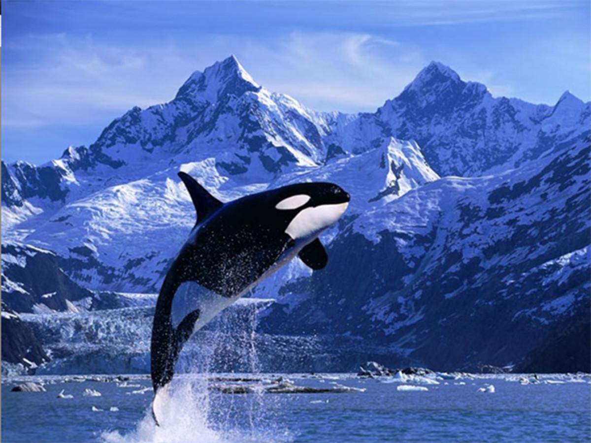 Killer whales aka Orcas