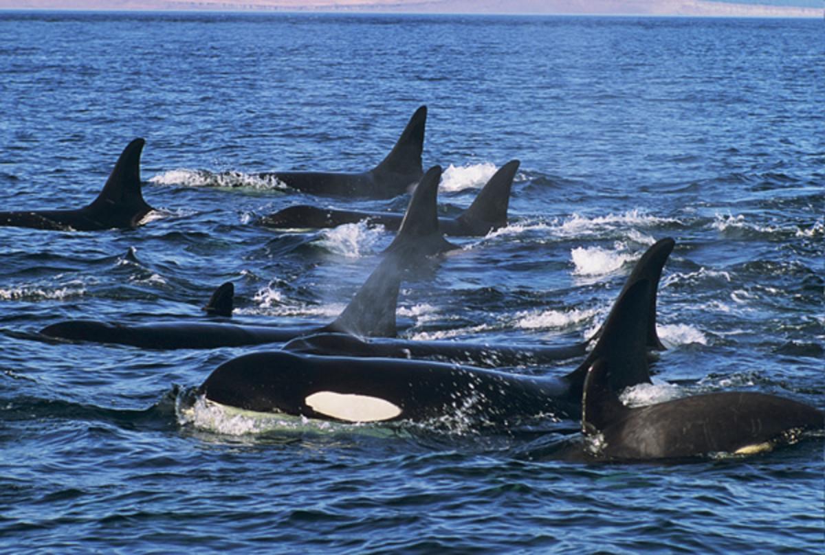 Family Pod of Orcas