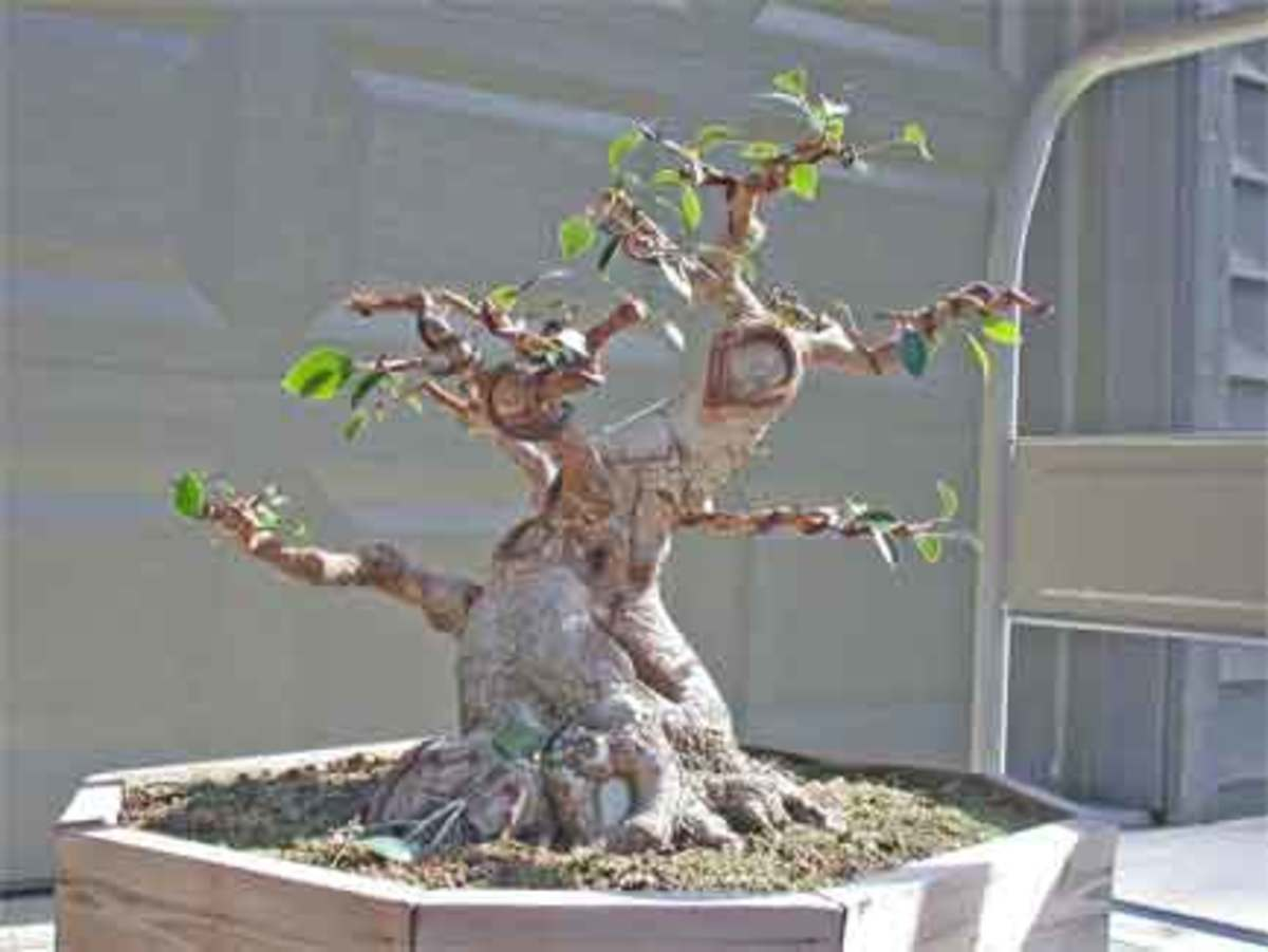 How to get a thicker bonsai tree trunk