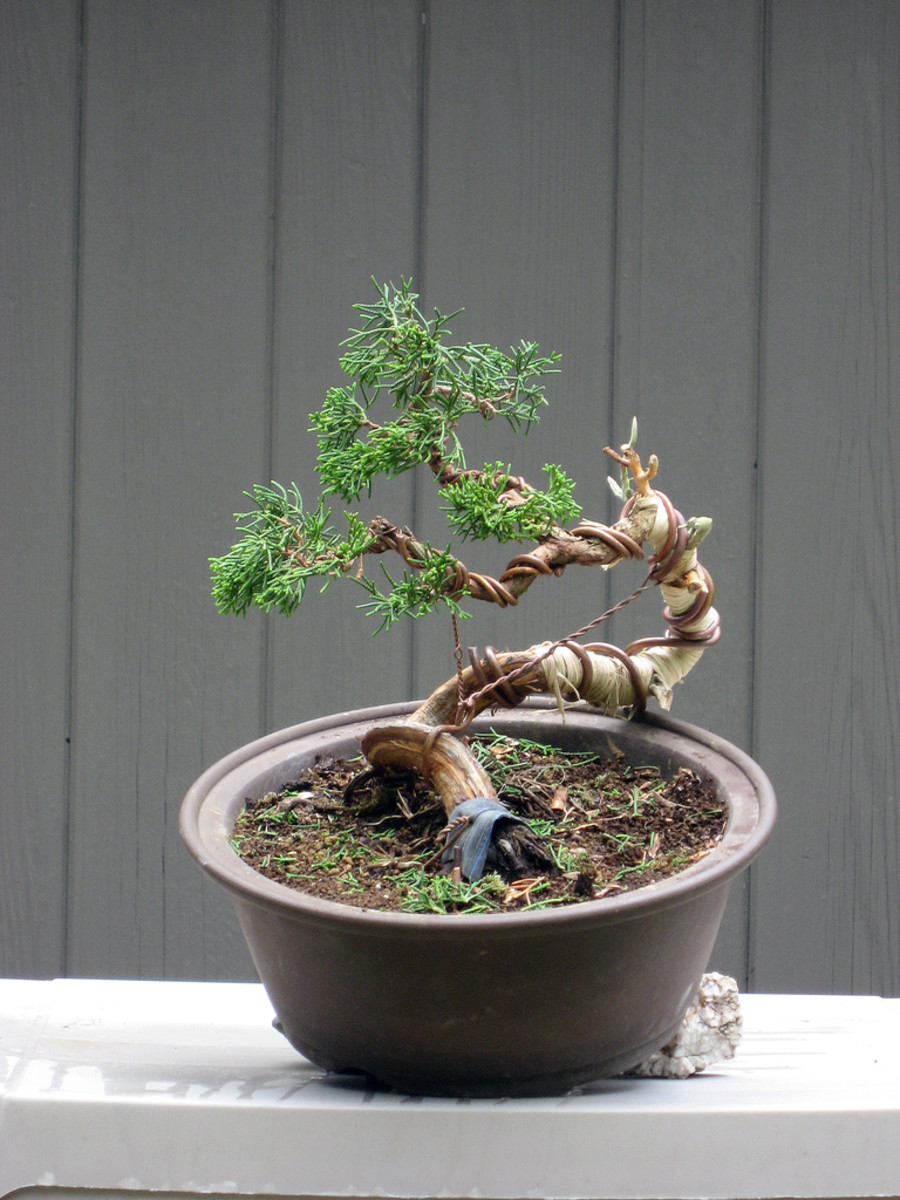 how-to-get-a-thicker-bonsai-tree-trunk