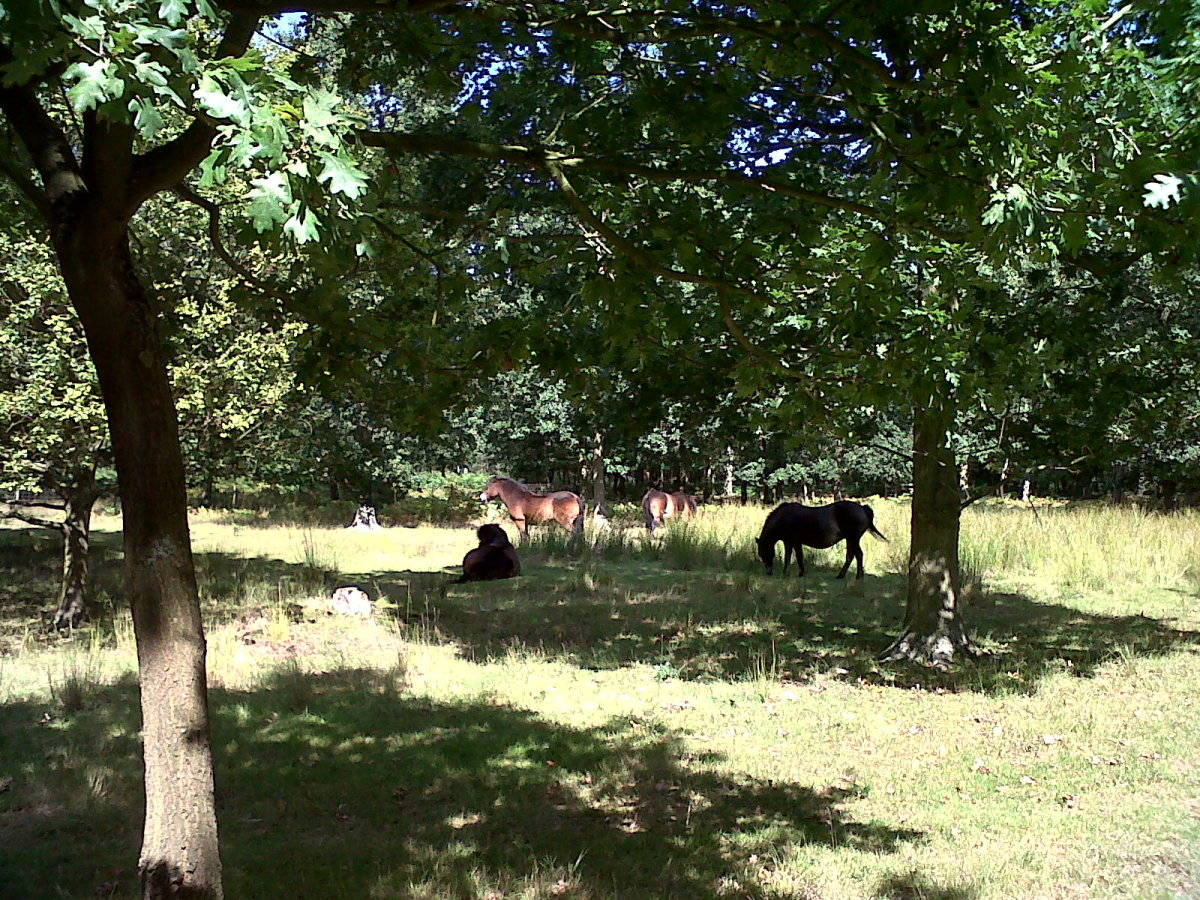Ponies on Skipwith Moor