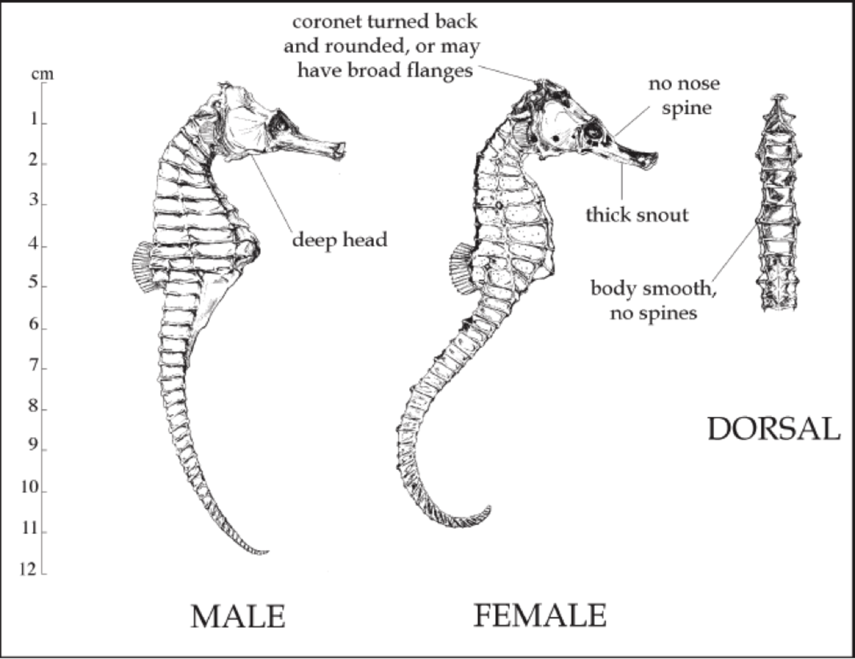 The Natural History of the Common Seahorse, Hippocampus kuda
