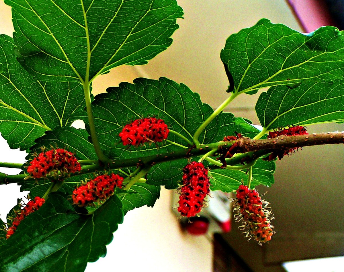 many-benefits-of-mulberry