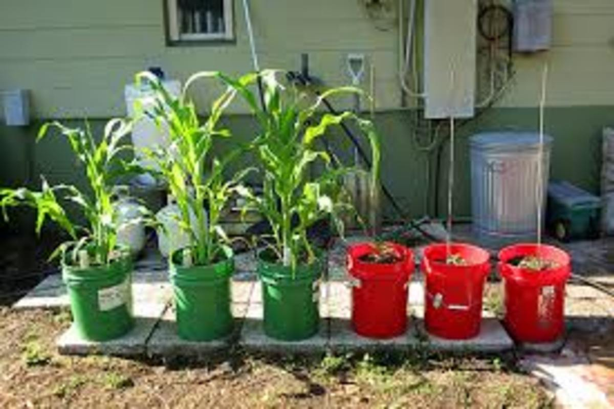 5 Gallon Buckets Make Excellent Containers For Growing Vegetables.