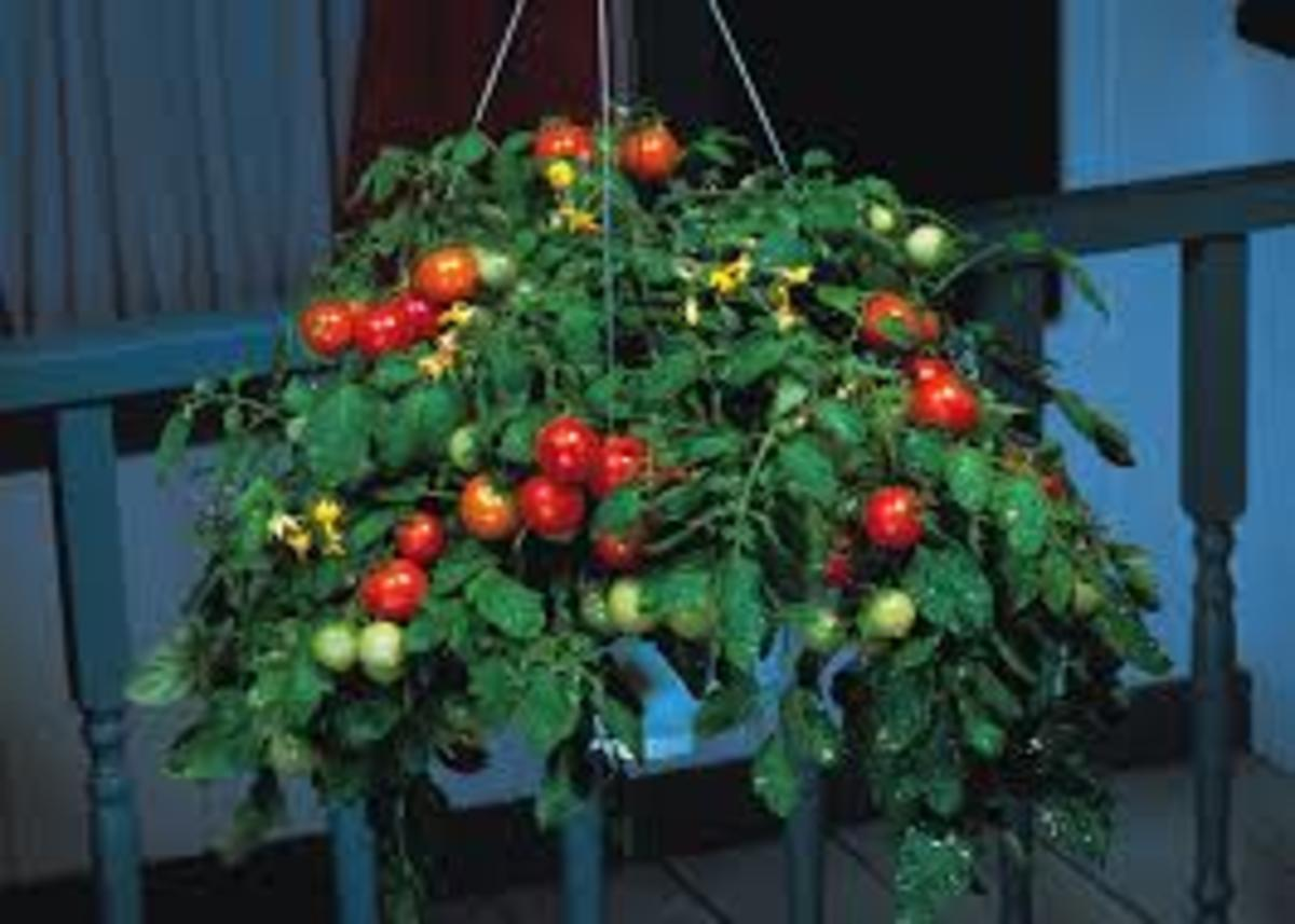 Salad, Roma, And Cherry Tomatoes Can Easily Be Grown In Large Hanging Baskets.