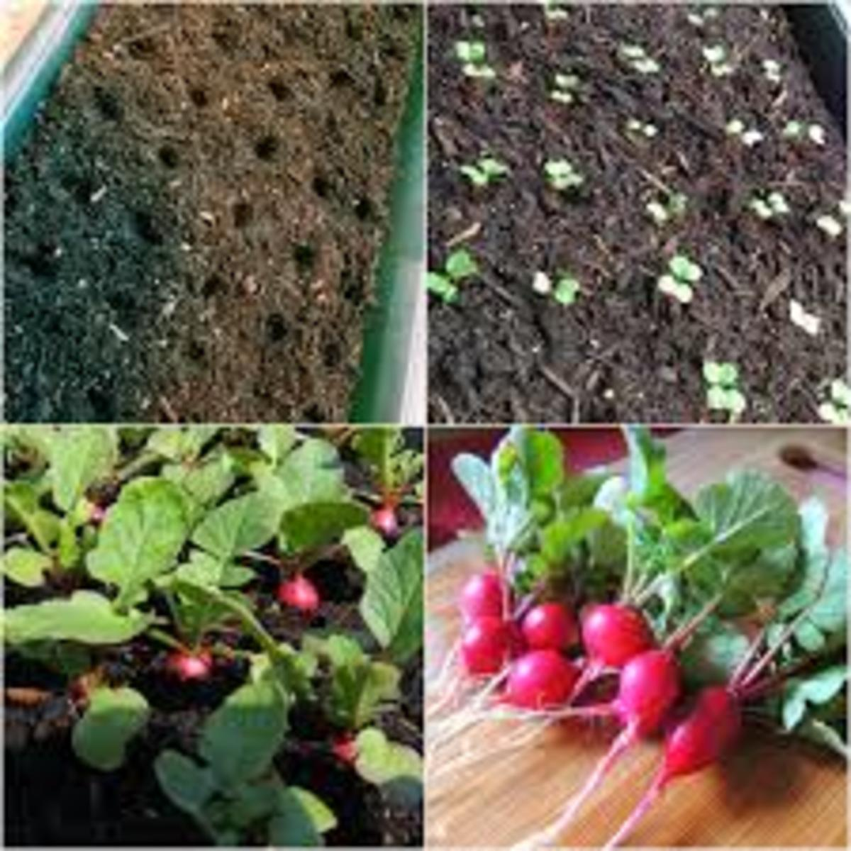 You can easily grow great crops of radishes in containers. This would be a great project for kids to do as the radishes will grow quickly and then they can pick the radishes, wash them and eat them.