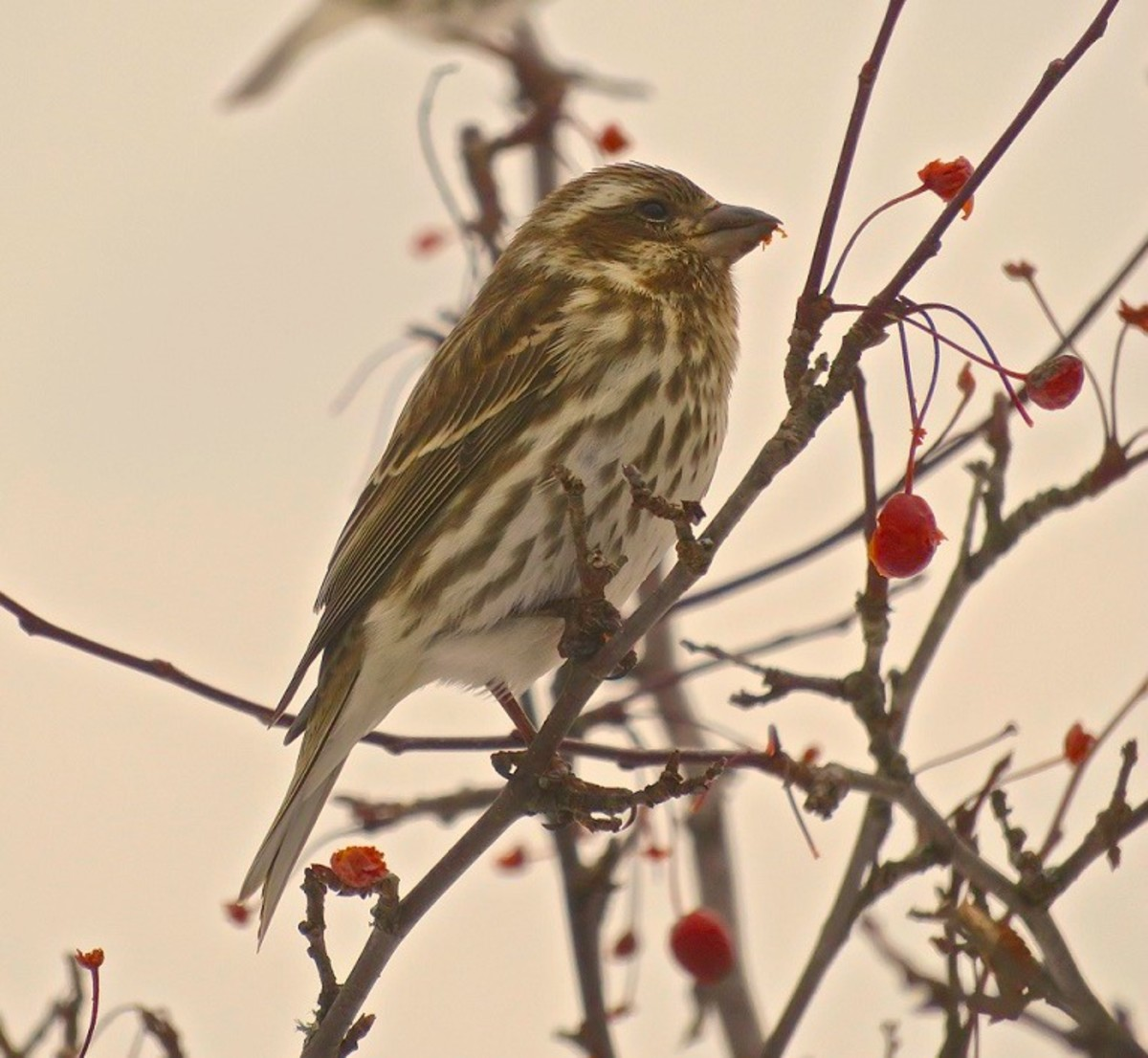 Female Purple Finch in a Hopa Crabapple tree on a winter's day.
