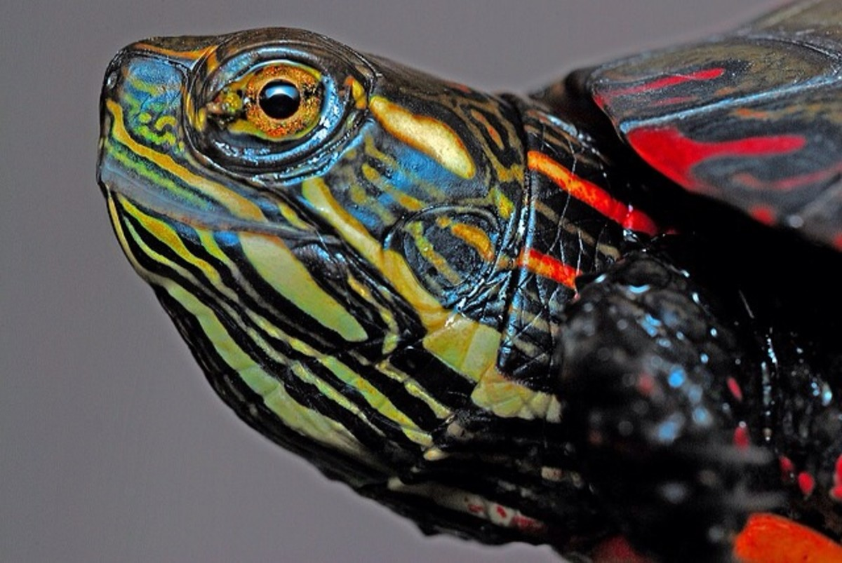 Close-up of beautiful Painted Turtle.