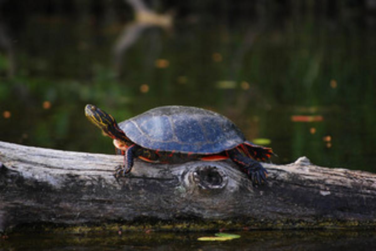 Turtle basking on log