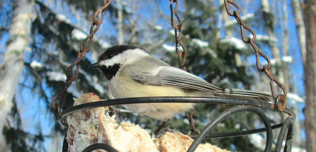 Chickadees are winter season birds that eat suit.